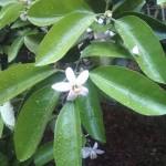 夏橙(甘夏?)の花