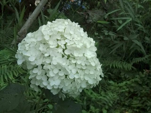 白い紫陽花(あじさい)アナベル