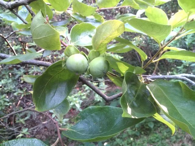 自然の恵み…柿