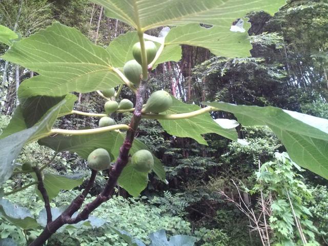 自然の恵み…無花果(いちじく)