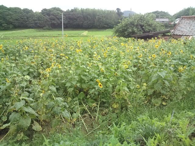 秘密の花園、向日葵畑