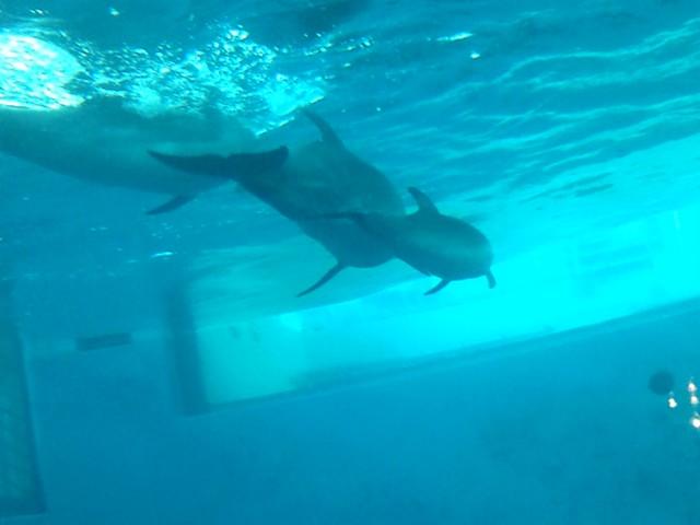 寄り添うようにして泳ぐイルカの親子